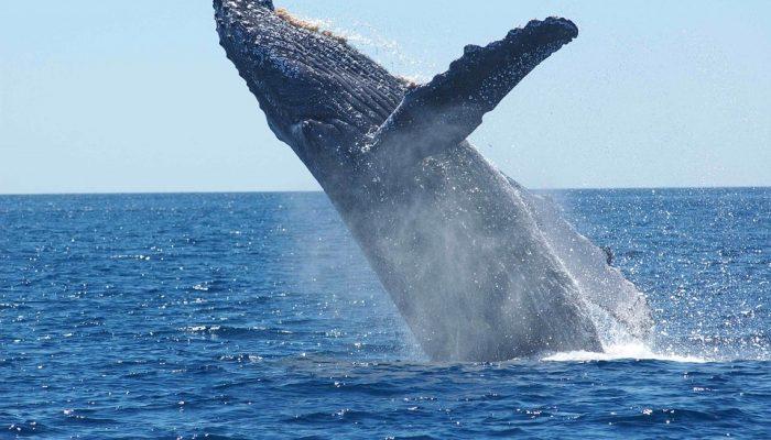 humpback-whale-1945416_960_720